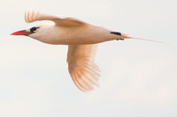 Redtailed tropicbird