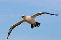 Cape Kidnappers gannet